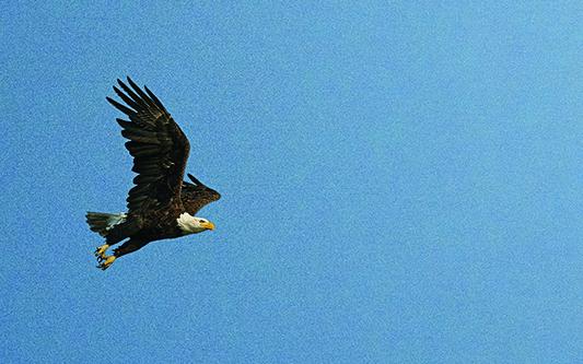 Illustration of a flying eagle. Illustration by Nicolás Ortega.