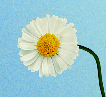 Illustration of a drooping daisy. Illustration by Nicolás Ortega.